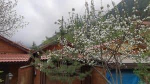 ازهار الربيع في فندق اوزنجول