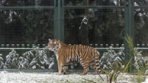 صورة للنمر في حديقة حيوانات بورصةا